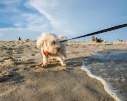 Hundehaftpflicht für den Kampfhund